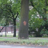 Drzewa przy ul. Cieszyńskiej do przeglądu