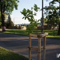 Nowe drzewa przy ul. Zdrojowej